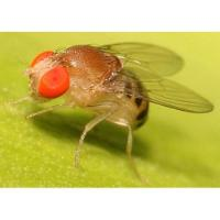 Drosophila (whole fly) GenLysate™